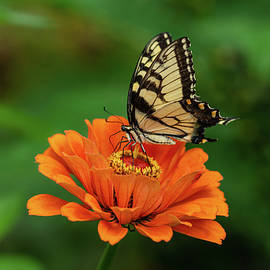 Feasting on Zinnia by Carrie Goeringer