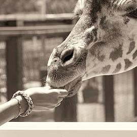 Feeding The Giraffe by Sandi Kroll