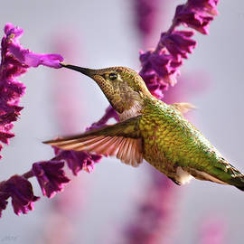Brian Tada - Female Annas Hummingbird and Salvia Flower, Side View