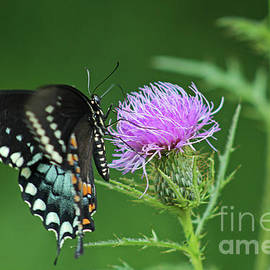 Female Black Swallowtail Butterfly on a Thistle Flower by Maili Page