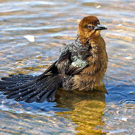 Lyuba Filatova - Female Boat-tailed Grackle is Taking a Splash Bath