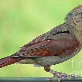 Female Cardinal Eating Her Supper by Bobbie Moller