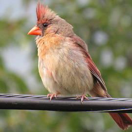 Female Cardinal by Mandy Byrd