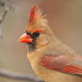 Lara Ellis - Female Cardinal Portrait