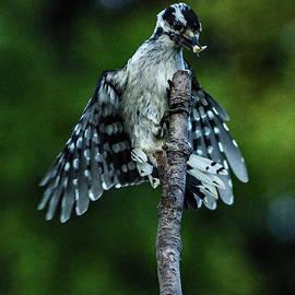 Female Downy Woodpecker Landing by Cindy Treger