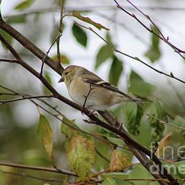 Female Goldfinch by Karen Adams