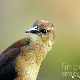 Female Great-tailed Grackle by Bunny Clarke