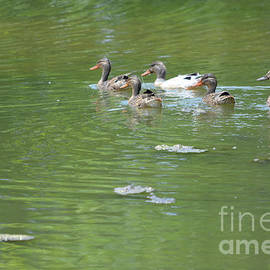 Female Mallards and Other Duck Swimming On The Lake by Ruth Housley