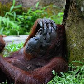 Female orangutan rests against tree with hand on her head Singapore Zoo by Imran Ahmed