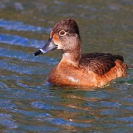 Female Ring-Neck Duck I by Carol Montoya