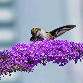 Female Ruby-throated Hummingbird by Lyuba Filatova
