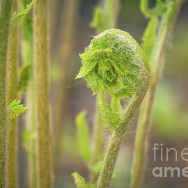 Fern bud 1 by Claudia M Photography