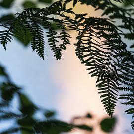 Fern Frond Silhouette by Robert Potts
