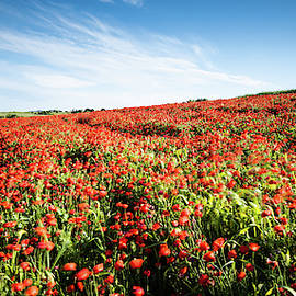 Field full with red  poppy anemone flowers. by Michalakis Ppalis