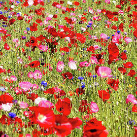 Field Of Red Poppies by E Faithe Lester