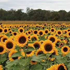 Field of Sunflowers by Nadia Asfar