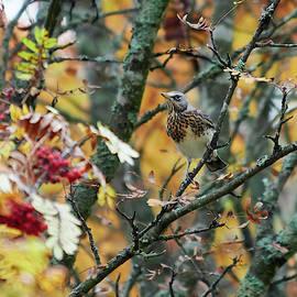 Fieldfare fall and a rowan tree by Jouko Lehto