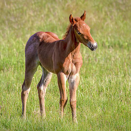Filly in a Field 01027 by Kristina Rinell
