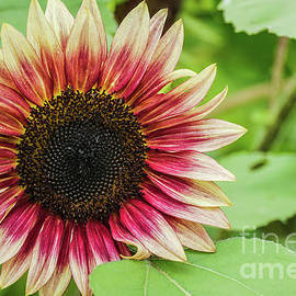 Firecracker sunflower by Claudia M Photography