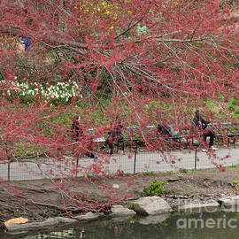 First Signs of Spring - Central Park - Red Blossoms by Miriam Danar