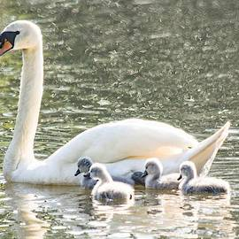First Swim - Mute Swan and Cygnets by Mary Ann Artz