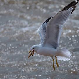 Fishing Seagull by Alma Danison
