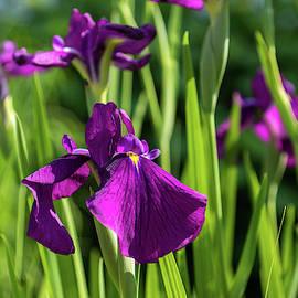 Flamboyant Royal Purple Japanese Irises in Bloom - A Garden for Van Gogh by Georgia Mizuleva