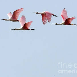 Rodney Cammauf - Flight of Roseate Spoonbills