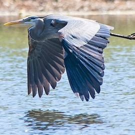 Flight of the Great Blue Heron by Mary Ann Artz