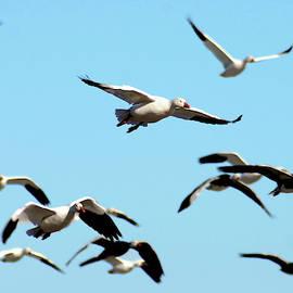 Flock in Flight by Steve Karol
