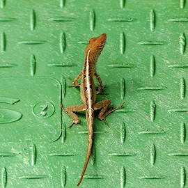 Florida lizard on a Green Background by Lyuba Filatova