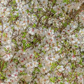 Flowering Almond in Jerusalem by Morris Finkelstein