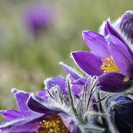 Flowering Anemone Pulsatilla by Torbjorn Swenelius