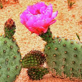Flowering Cactus by Allen Beatty