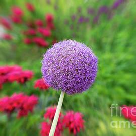 Flowering Onion / Allium Giganteum Flower by Les Palenik