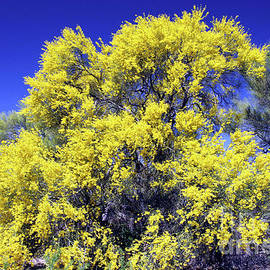 Flowering Palo Verde Tree - For Janet Marie by Douglas Taylor