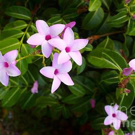Flowering Rubber Vine by Christy Johnson