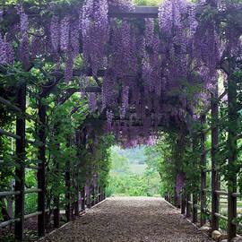 Flowering Wisteria Vines On Pergola