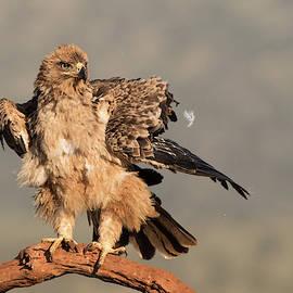 Allen Trivett - Fluffy eagle - Tawny eagle