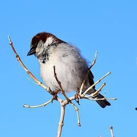 Fluffy Sparrow by Dana Hardy