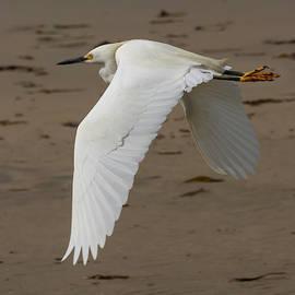 Flying Egret 4/08 by Bruce Frye