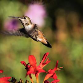 Flying Female Rufous Hummingbird by Robert Potts
