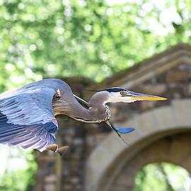 Flying Great Blue Heron by Mary Ann Artz