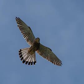 Flying male Kestrel in the blue sky by Torbjorn Swenelius