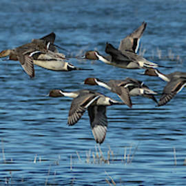 Elizabeth Waitinas - Flying Northern Pintail Ducks