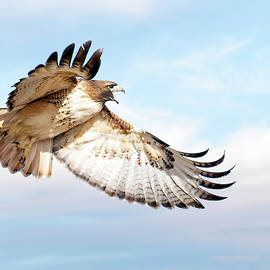Judi Dressler - Flying Red-tailed Hawk
