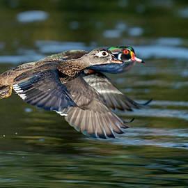 Flying Wood Duck Couple by Judi Dressler