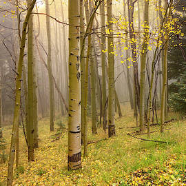 Foggy Winsor Trail Aspens In Autumn - Santa Fe National Forest New Mexico by Brian Harig