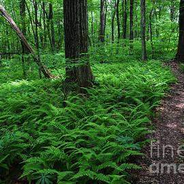 Forest Ferns by Dale Kohler