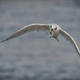 Forster's Tern by John Maslowski